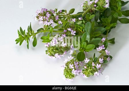 Gemeinsamen Thymian (Thymus Vulgaris), blühende Zweige, Studio Bild. - Stockfoto
