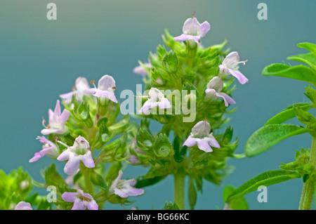 Gemeinsamen Thymian (Thymus Vulgaris), blühenden Stängel. - Stockfoto