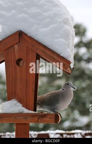 Eurasian collared dove (Streptopelia Decaocto) am Vogelhäuschen / Futterhaus / Vogel Tisch im Schnee im Winter - Stockfoto