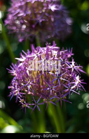 Soft-Fokus-Schuss von riesigen blauen Alium Blüte im Juni - Stockfoto