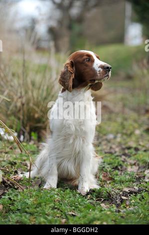 Welsh Springer Spaniel Hund - Stockfoto