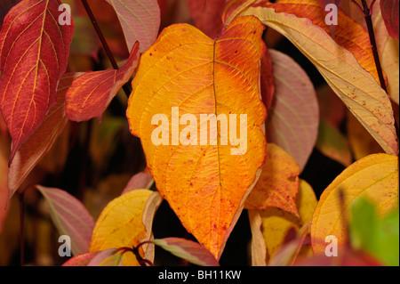 Nahaufnahme der Hartriegel Blätter im Herbst Farben - Stockfoto