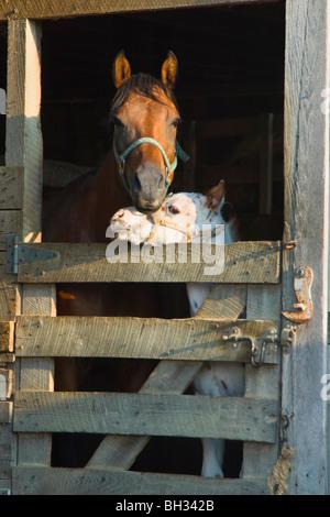 Stock Foto von Appaloosa-Stute und gefleckte Fohlen in den Stall für den Abend, beide sind Reinzucht, Mutter hat - Stockfoto