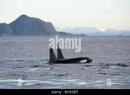 Paar von Schwertwalen, Orcinus Orca, Solvaer, Vestfjord, Lofoten, Norwegen - Stockfoto