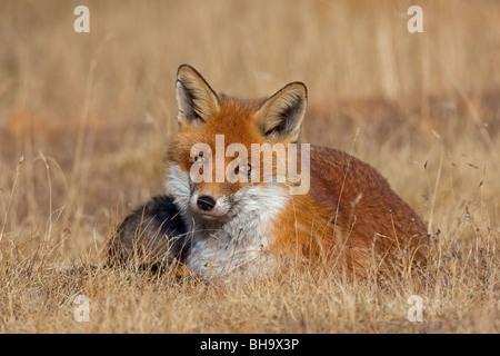 Rotfuchs (Vulpes Vulpes) liegen in den Rasen im Herbst - Stockfoto