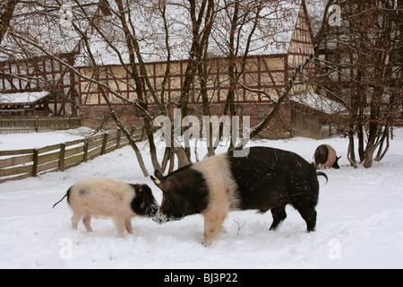 Deutsches Weideschwein Schwein, seltene alte nationale Rasse, Eber und Ferkel in den Schnee in Freigatter, winter - Stockfoto