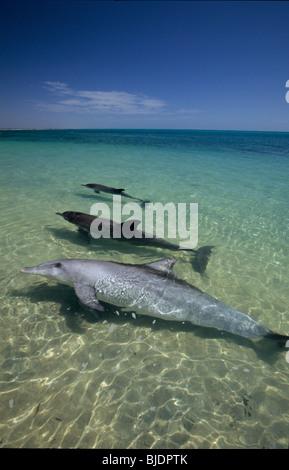 Gruppe von drei wilden Indo-Pazifik Tümmler (Tursiops Aduncus) in der blauen Lagune. Monkey Mia, Shark Bay, Westaustralien - Stockfoto