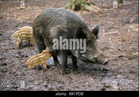 Europäische Wildschwein mit säugende Ferkel, Sus Scrofa Scrofa, Suidae. - Stockfoto