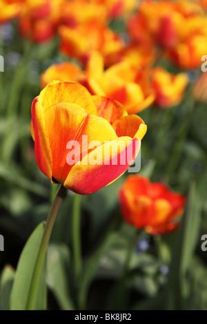 Einzelne Tulpe in einem Bett aus Tulpen hervorgehoben. - Stockfoto