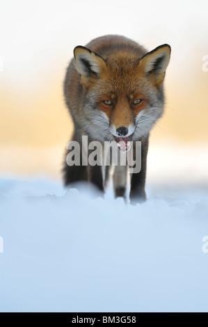 Rotfuchs (Vulpes Vulpes), zu Fuß mit Mund offen, Niederlande. - Stockfoto