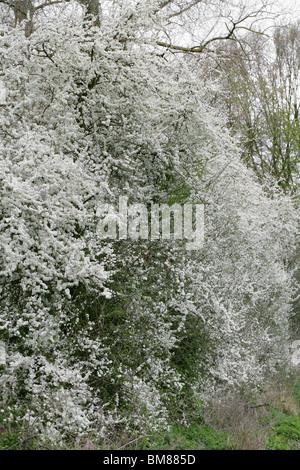 Blackthorn Blüte (Prunus Spinosa, Rosengewächse) im April, Hertfordshire, UK - Stockfoto