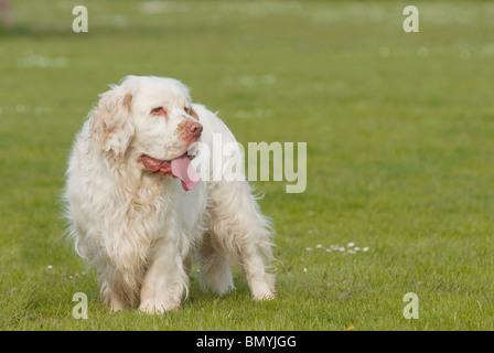 Clumber Spaniel Hund stehend Wiese - Stockfoto