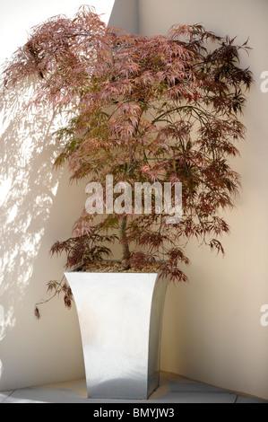 Eine Topfpflanze japanischen Acer - Stockfoto