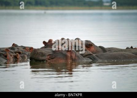 Ein Nilpferd Familie entspannend in Lake Naivasha, Kenia, Ostafrika - Stockfoto