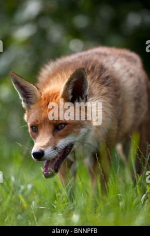Rotfuchs, auf einer Wiese Vulpes Vulpes, UK (Captive) - Stockfoto