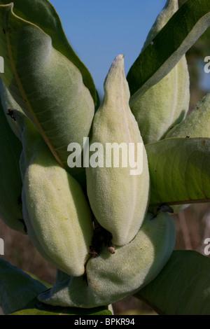 Common Milkweed Samenkapseln Asclepias syriaca im Osten der USA Ende August - Stockfoto