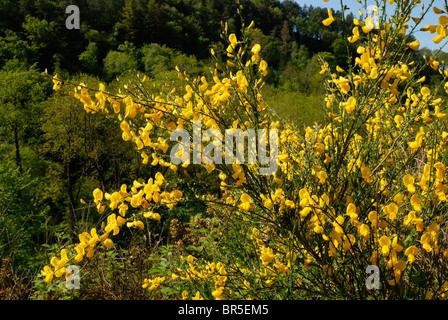Cytisus Scoparius, blühenden Ginster Strauch in Wäldern, Wales. - Stockfoto