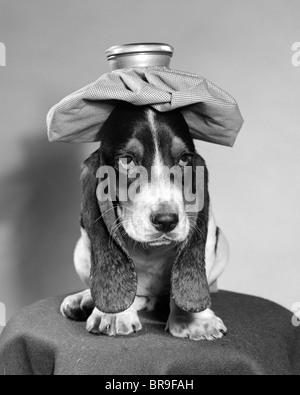 BASSET HOUND DOG MIT EIS PACKEN AUF KOPF - Stockfoto
