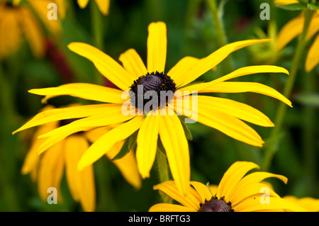 Black Eyed Susan Flower - Stockfoto