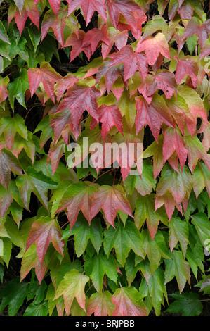Wildem Wein (Parthenocissus Quinquefolia) im Herbst. Hampshire, England - Stockfoto