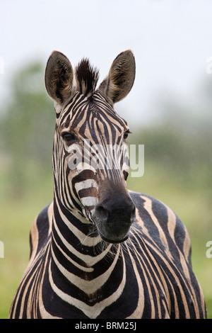 Ein Erwachsener Zebra-Porträt - Stockfoto