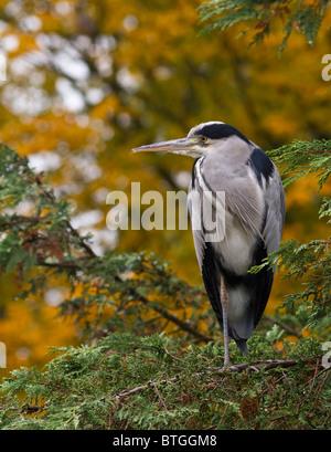 Graue Reiher (Ardea Cinerea) stehen auf einem Bein in einem Baum mit Herbstlaub dahinter - Stockfoto
