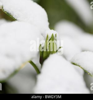 schneebedeckte Acuba Japonica Knospe - Fine Art-Fotografie, Jane Ann Butler Fotografie JABP954 RIGHTS MANAGED - Stockfoto