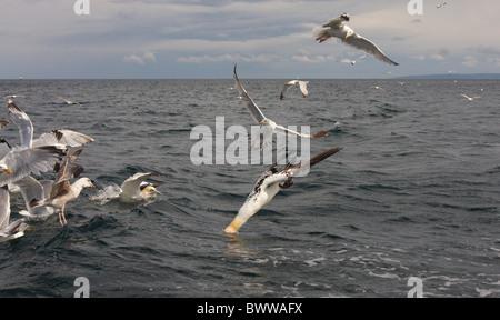 Nördlichen Basstölpel (Morus Bassanus) Erwachsenen, Fütterung, Tauchen für Fische, unter Möwe Herde, Bass Rock, - Stockfoto