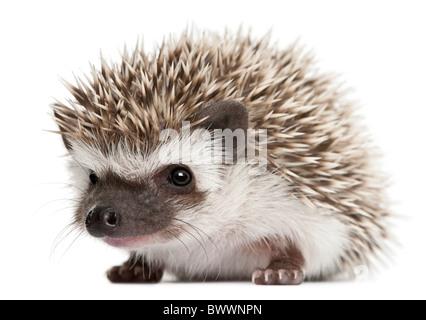 Vier-toed Hedgehog, Atelerix Albiventris, 3 Wochen alt, vor weißem Hintergrund - Stockfoto