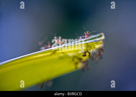 Gottesanbeterin-Babys, aufgereiht auf einem Palmblatt - Stockfoto
