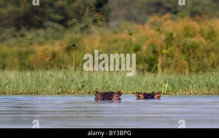 Ein paar Flusspferde schwelgen in den See Mitte tagsüber Sonne - Stockfoto