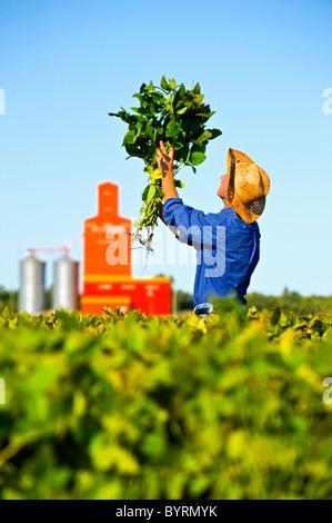 Ein Bauer inspiziert seine Mitte Wachstum Soja-Ernte mit einem Getreidesilo im Hintergrund / in der Nähe von Carey, - Stockfoto