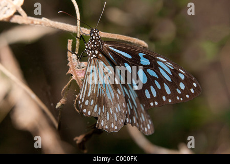 Blaue Tiger Schmetterling (Tirumala Hamata) am Zweig in Butterfly Sanctuary, Magnetic Island, Townsville, Queensland, - Stockfoto