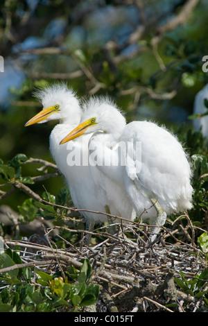 2 Silberreiher Küken auf dem nest - Stockfoto