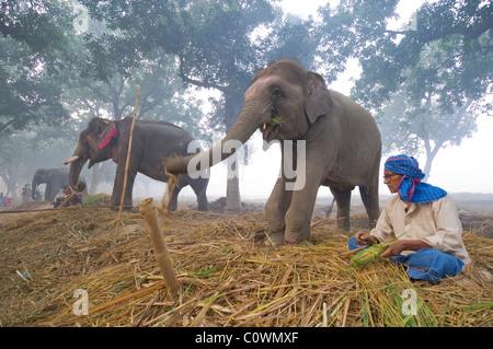 Elefanten zu verkaufen, mit einem Mahout im Haathi Basar, Sonepur Mela, Sonepur, Bihar, Indien - Stockfoto