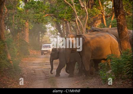 Asiatischer Elefant Elephas Maximus Corbett Indien - Stockfoto