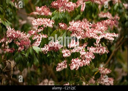 "Pieris Japonica ""Dorothy Wyckoff"" Japanese Pieris in Blüte im März - Stockfoto"