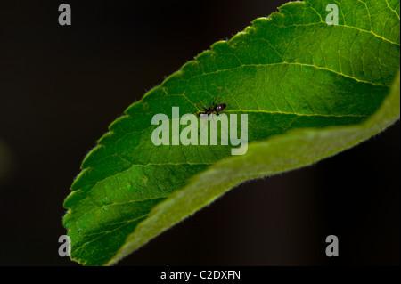 Ameise auf ein grünes Blatt mit schwarzem Hintergrund - Stockfoto