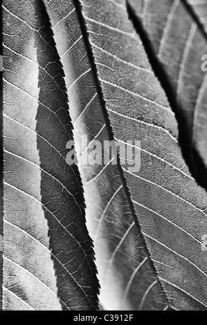Aesculus induzieren. Indische oder Himalayan Rosskastanie Baum Blätter. Schwarz und Weiß - Stockfoto
