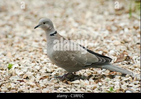 Ein Eurasian collared dove in einem Garten - Stockfoto