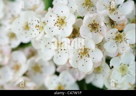 Crategus Monogyna, Weißdorn Blüte Nahaufnahme von Blumen, Norfolk, England, Mai - Stockfoto