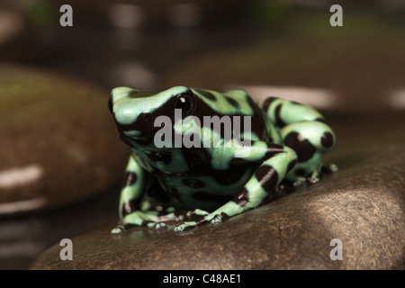 Schwarze und Grüne poison dart Frog [Dendrobates auratus] auf einem Felsen im Wasser, Porträt - Stockfoto