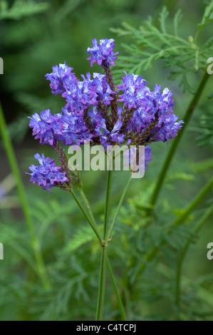Kanarischer Lavendel (Lavandula Canariensis), blühender Zweig. - Stockfoto