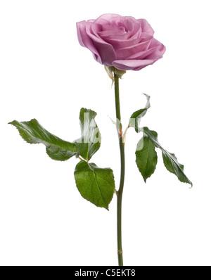 Rosa Aqua stieg vor weißem Hintergrund - Stockfoto