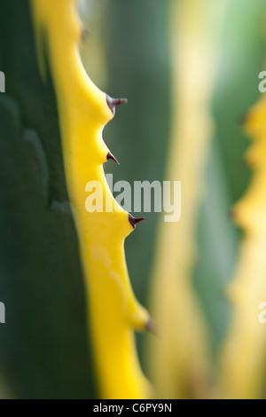 Agave, Lensbaby Double Glass Optic mit + 4 Makro - Stockfoto