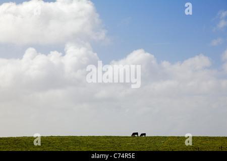 Grasende Kühe auf grünen Weiden, County Clare, Irland - Stockfoto