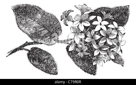 Mayflower oder Trailing Arbutus oder Epigaea Repens, Vintage-Gravur. Alten graviert Außenillustration ein Mayflower. - Stockfoto