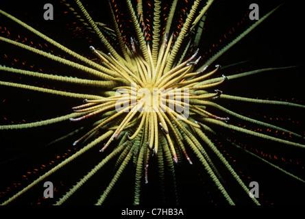 Basis-attached Wappen Crinoid oder Feather Star (Lamprometra Klunzingeri) offen und Fütterung auf Plankton in der - Stockfoto