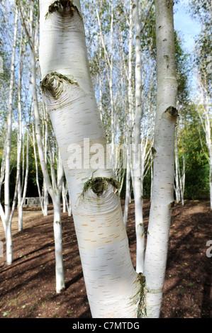 Weiße Birke Bäume Garten des Himalaya Birke Uk - Stockfoto