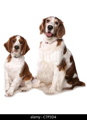 Welsh Springer Spaniel zwei Hunde sitzen in einem Studio UK - Stockfoto